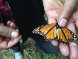 Santuario de mariposa monarca. Michoacán, México, 2016.
